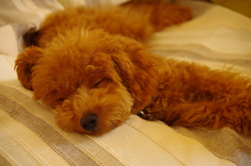 How Much Sleep Does a Labradoodle Need