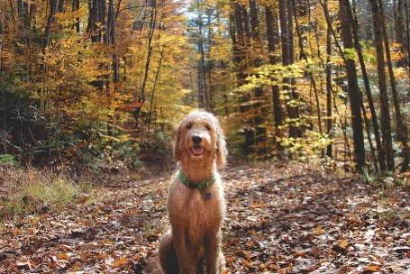 Labradoodle Causes of Death