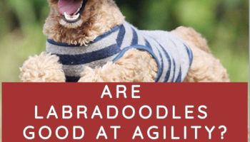 ARE LABRADOODLES GOOD AT AGILITY