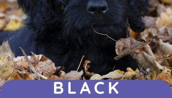 black labradoodles
