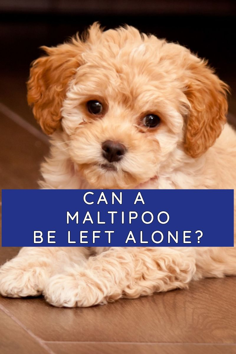 CAN A MALTIPOO BE LEFT ALONE