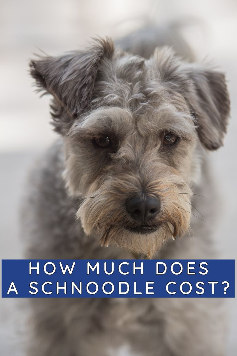 HOW MUCH DOES A SCHNOODLE COST