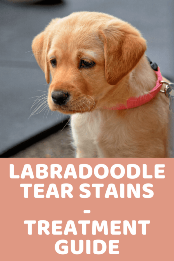 LABRADOODLE TEAR STAINS HOW TO TREAT TEAR STAINS IN LABRADOODLES