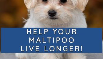 maltipoo life span life expectancy