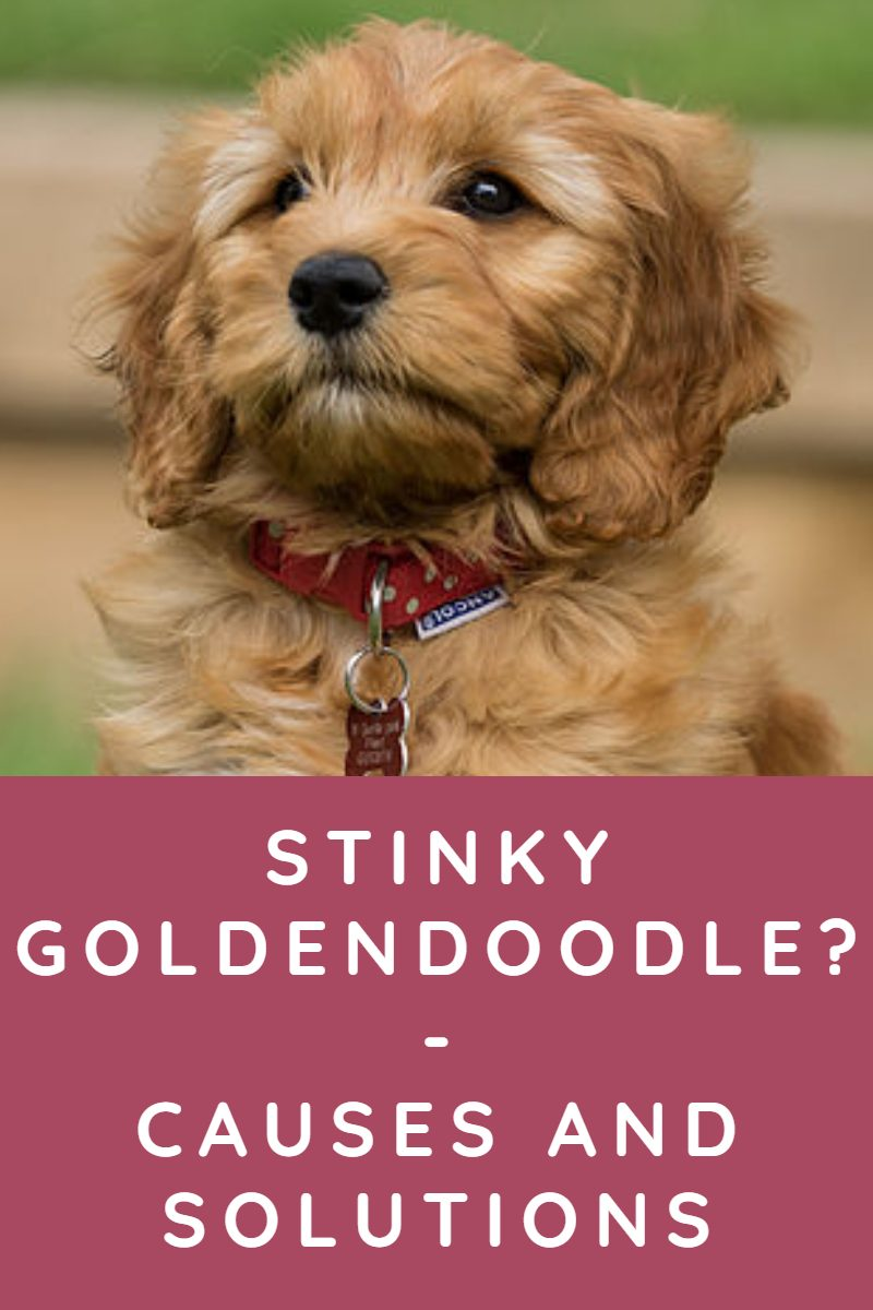 WHY DOES MY GOLDENDOODLE STINK