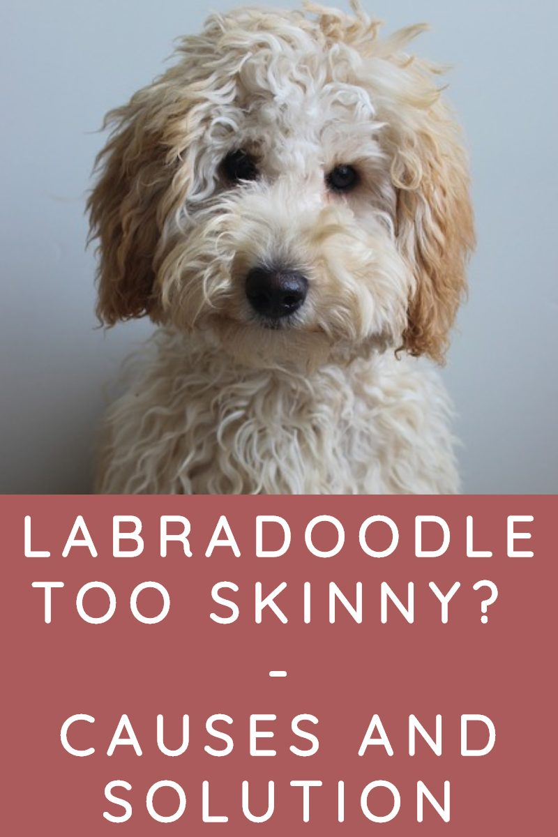 WHY IS MY LABRADOODLE SO SKINNY