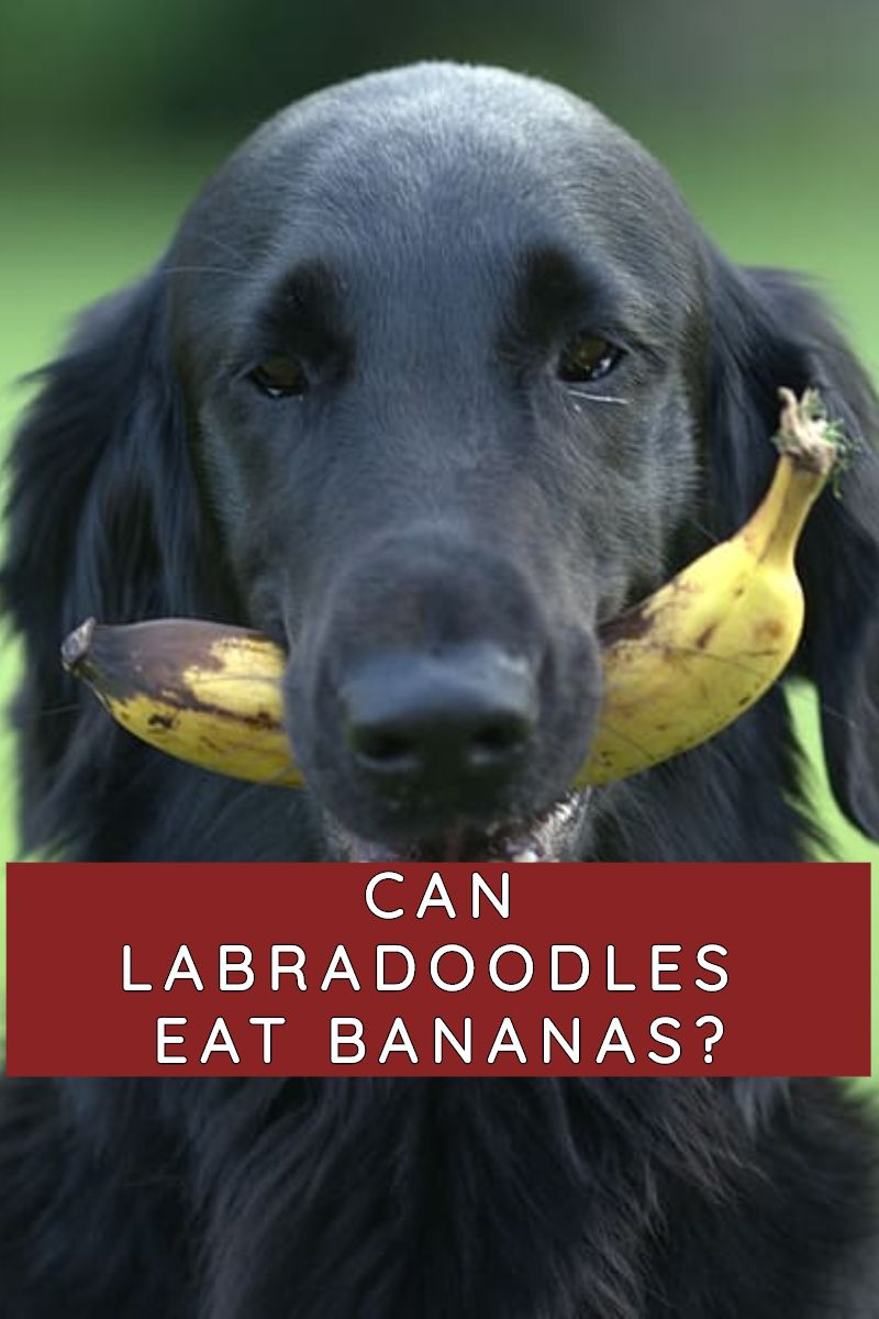 can labradoodles eat banana