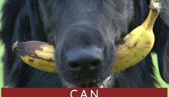 can labradoodles eat banana