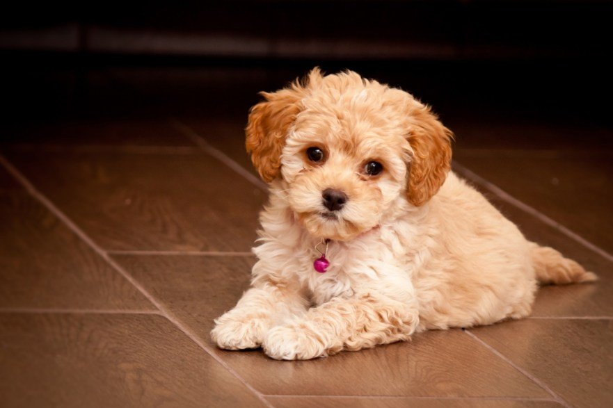 ARE MALTIPOOS EASY TO TRAIN why does my maltipoo smell