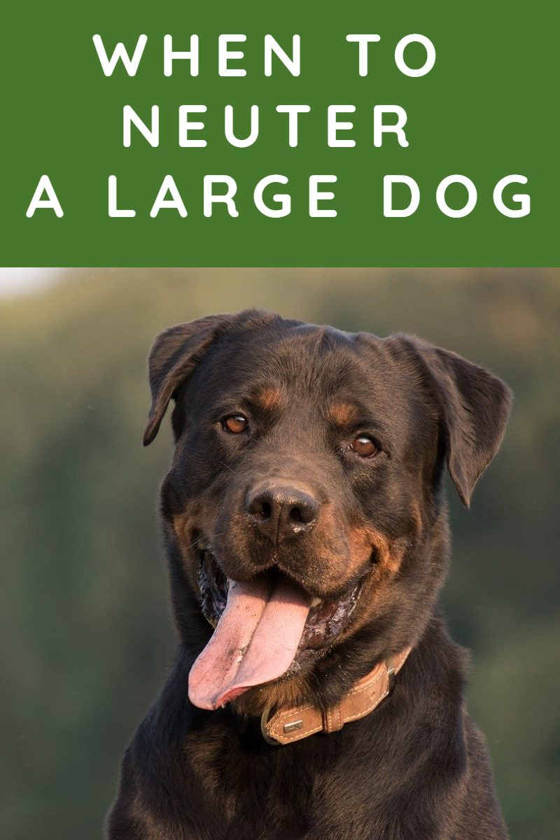 WHEN TO NEUTER A DOG LARGE BREED