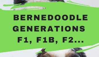 Bernedoodle Generations F1 Bernedoodle F2 Bernedoodle F1b Bernedoodle