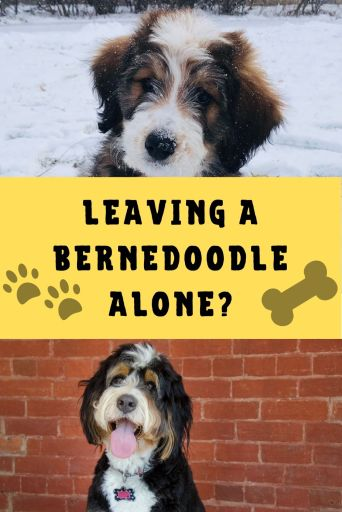 Can Bernedoodles be left alone
