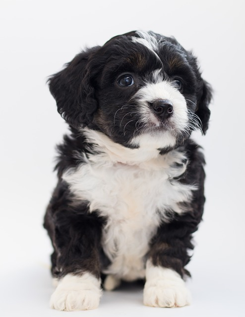 F2 Bernedoodle Why Bernedoodles Bark and What You Can Do About It