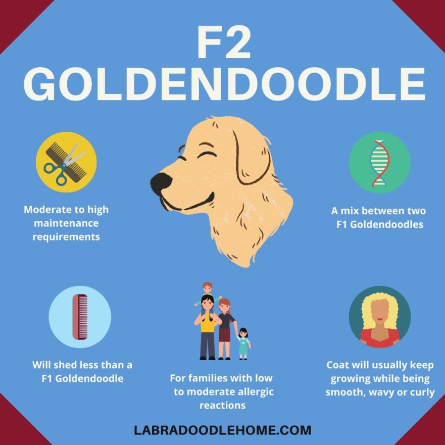 F2 Goldendoodle Infographic