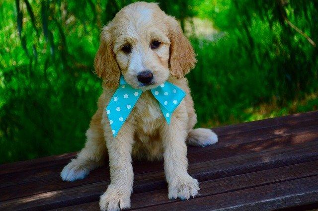 Should I Groom Goldendoodle Puppies
