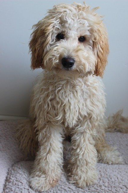 How Do You Groom Goldendoodles Can You Breed Two Labradoodles