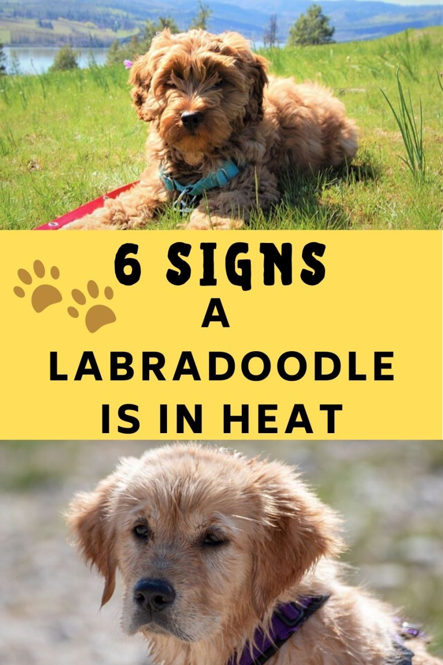 Signs a Labradoodle is in heat