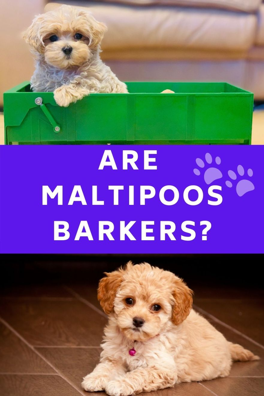 are maltipoos barkers