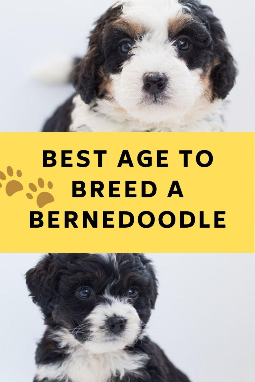 best age to breed a bernedoodle
