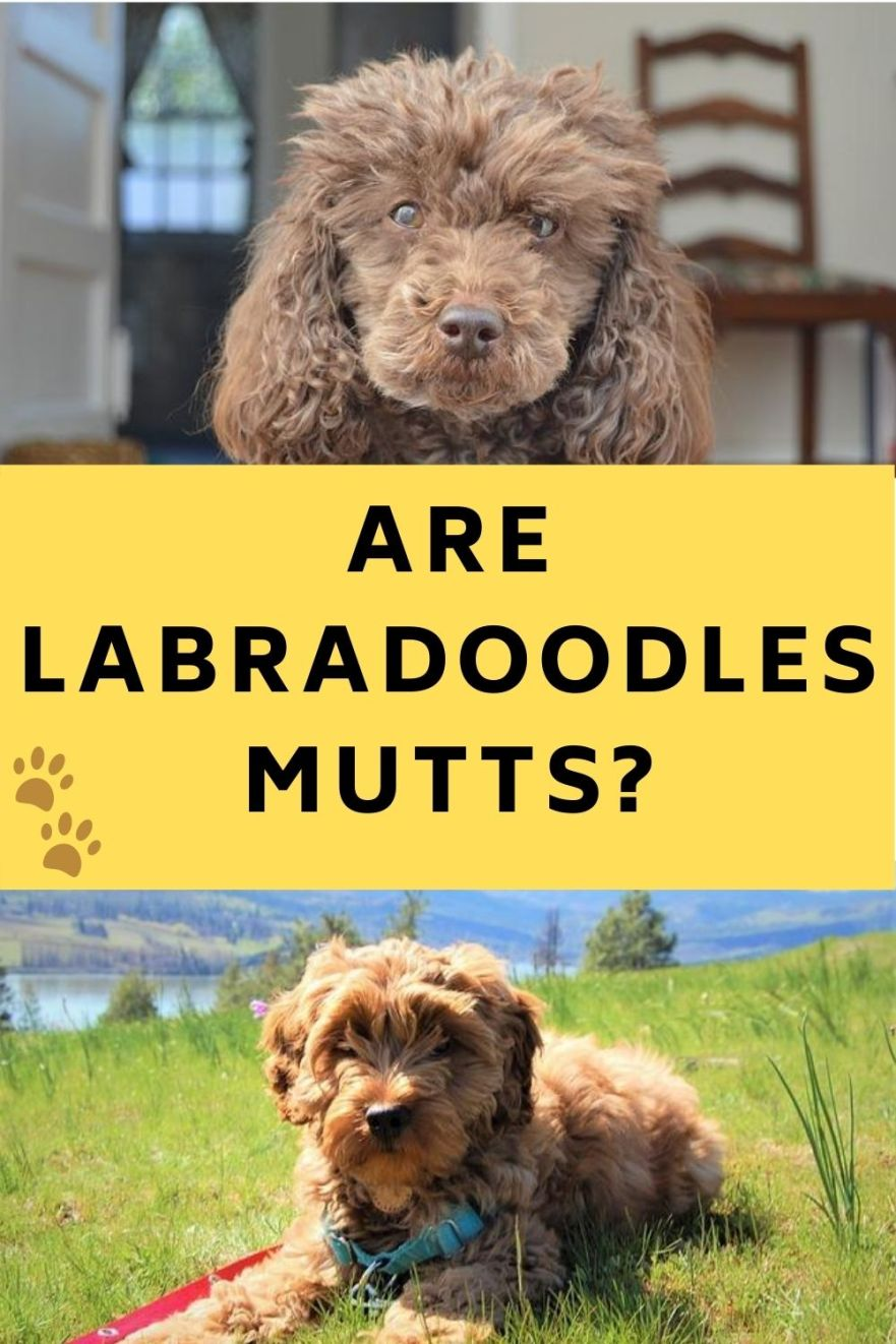 is a labradoodle a mutt