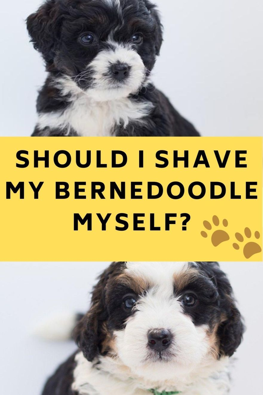 should i shave my bernedoodle myself