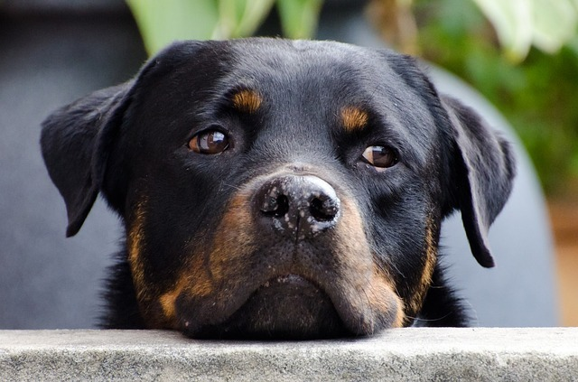 2 male rottweilers