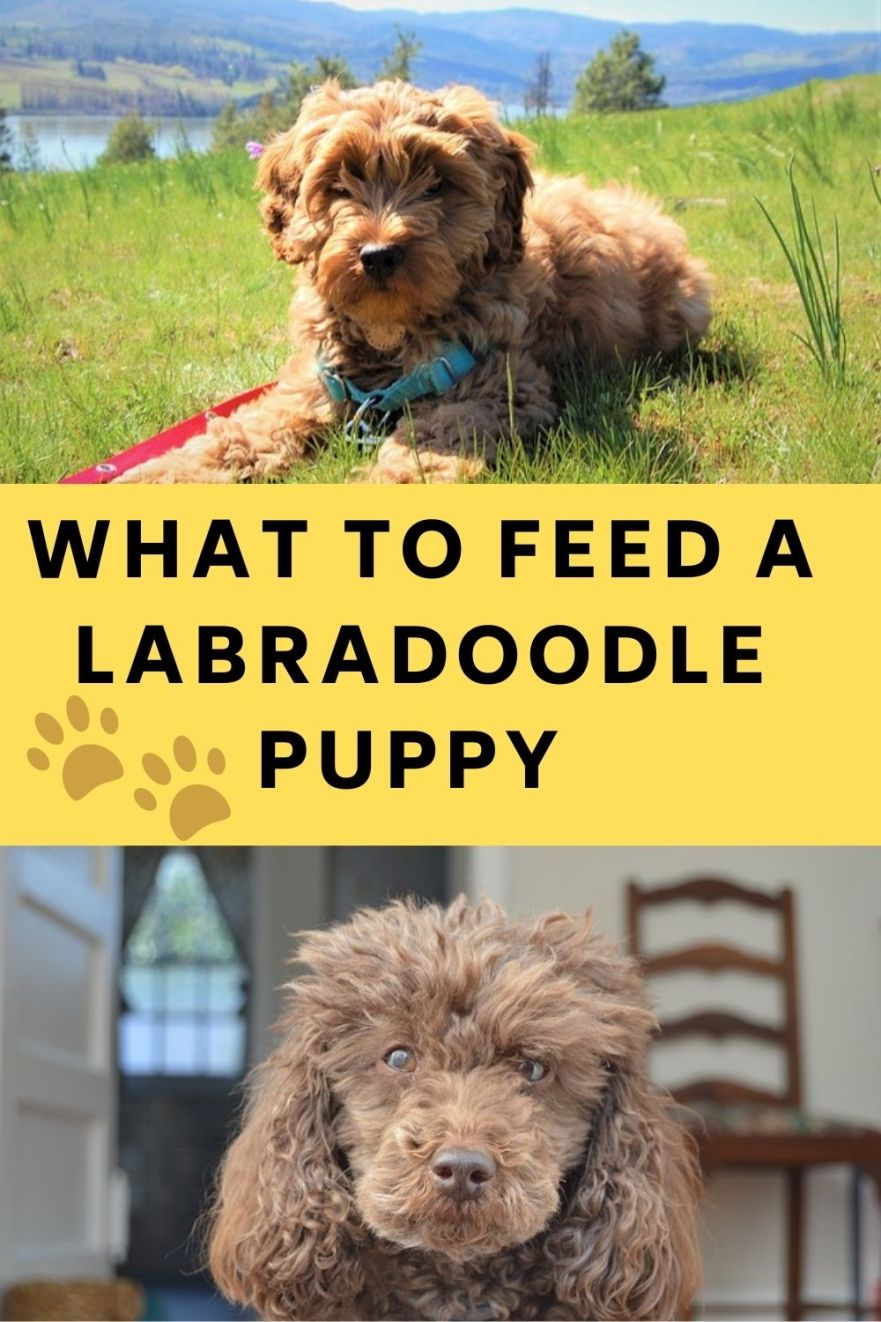 What should i feed my Labradoodle puppy