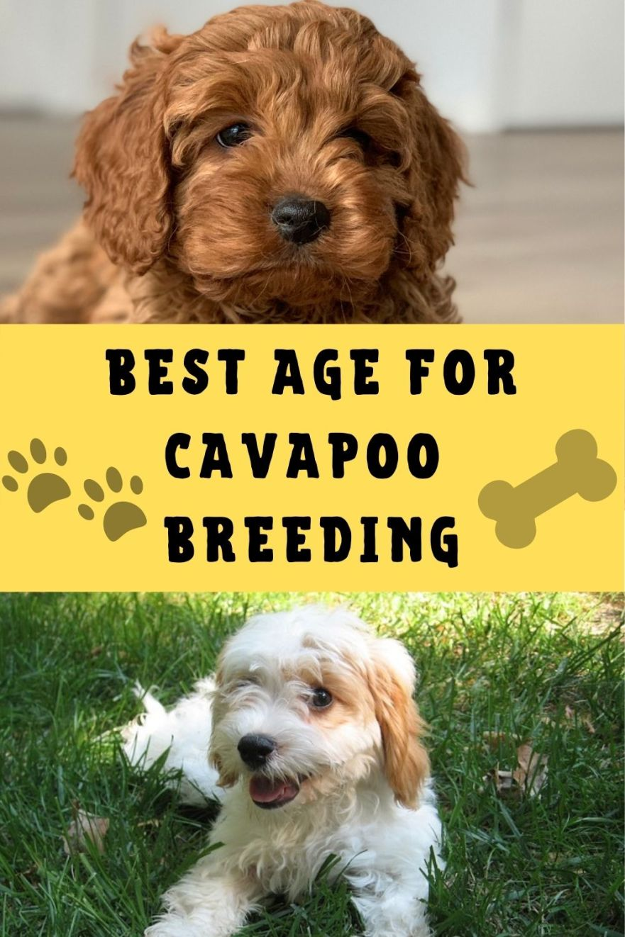 best age to breed a cavapoo