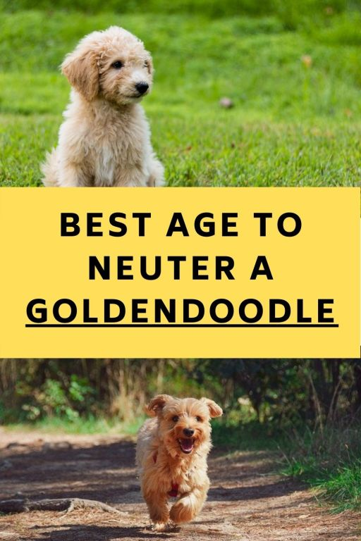 Best Age To Neuter A Goldendoodle