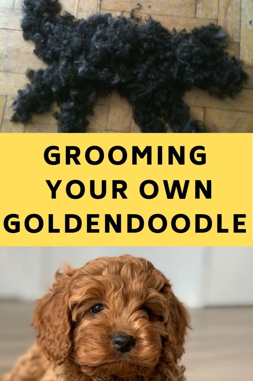 Can I Groom My Goldendoodle Myself
