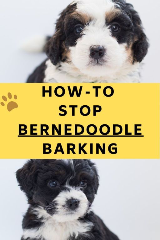 How Often Do Bernedoodles Bark