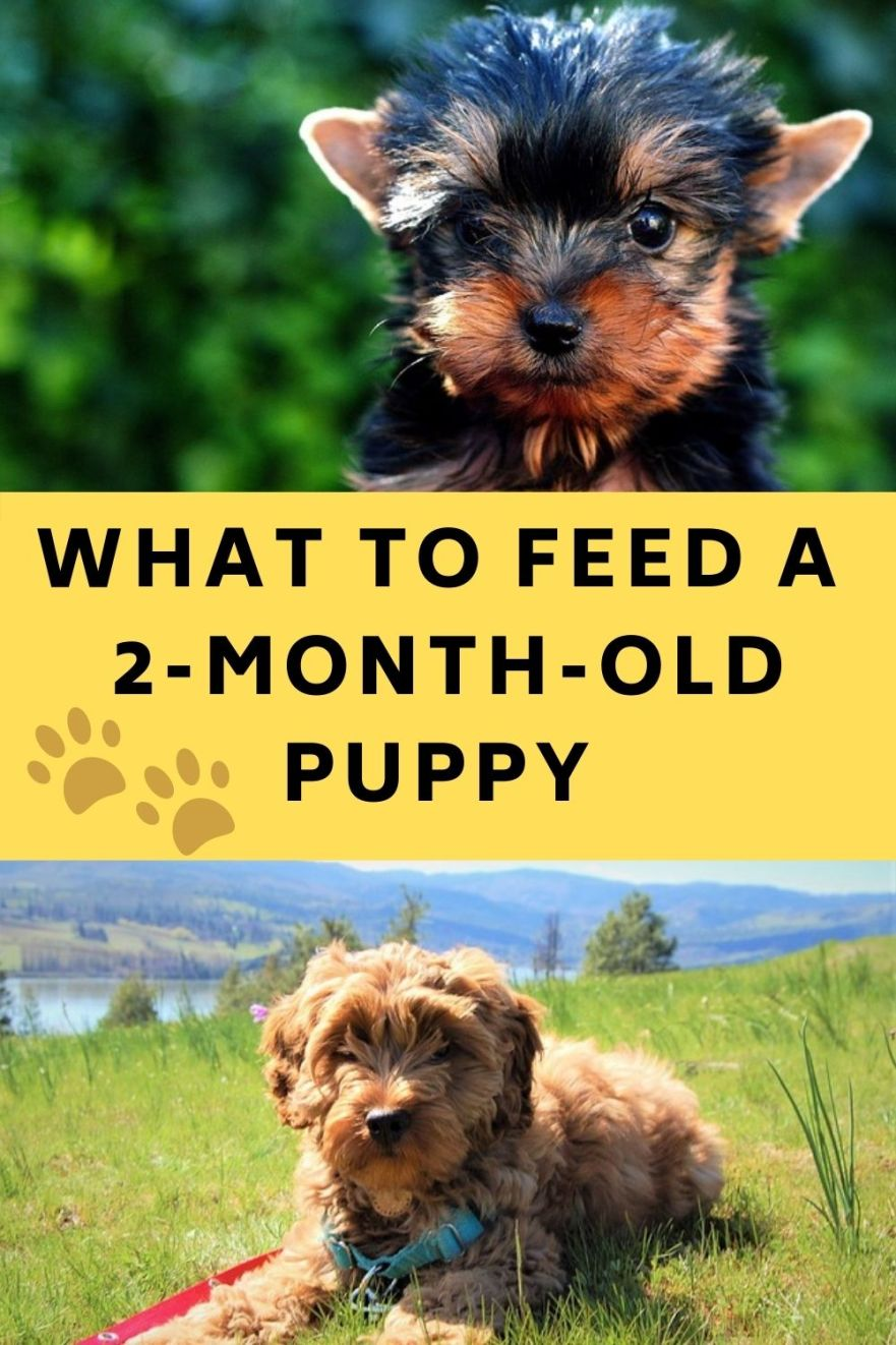 What to feed a 2-month-old puppy