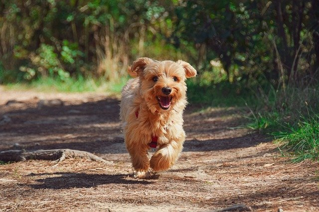 How To Successfully Leave Your Yorkie Poo At Home
