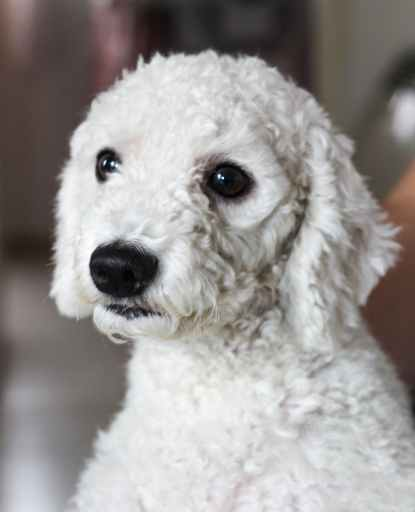 adult white toy poodle What Is The Best Flea And Tick Prevention For Poodles