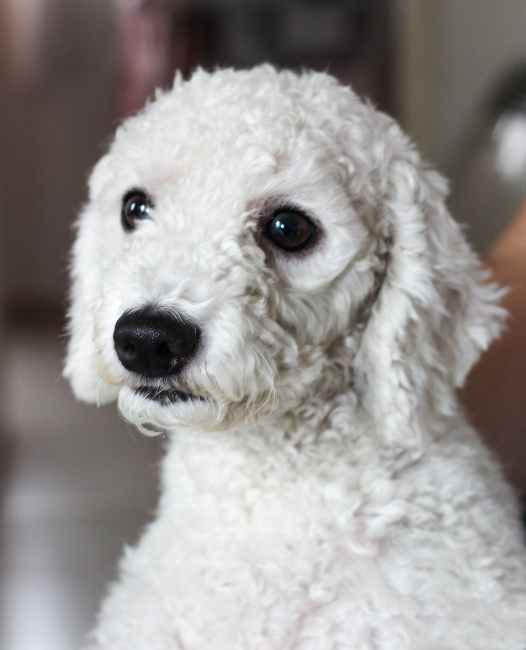 adult white toy poodle Best Dog Food For Picky Poodles