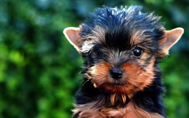 How Long Can A Yorkie Poo Be Left Alone