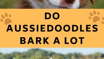 Do Aussiedoodles Bark A Lot