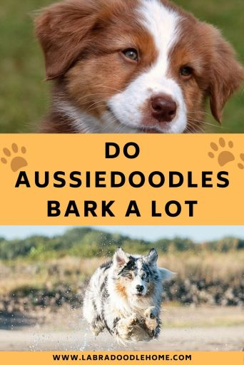 Do Aussiedoodles Bark A Lot