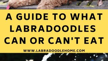 What can or cant a labradoodle eat