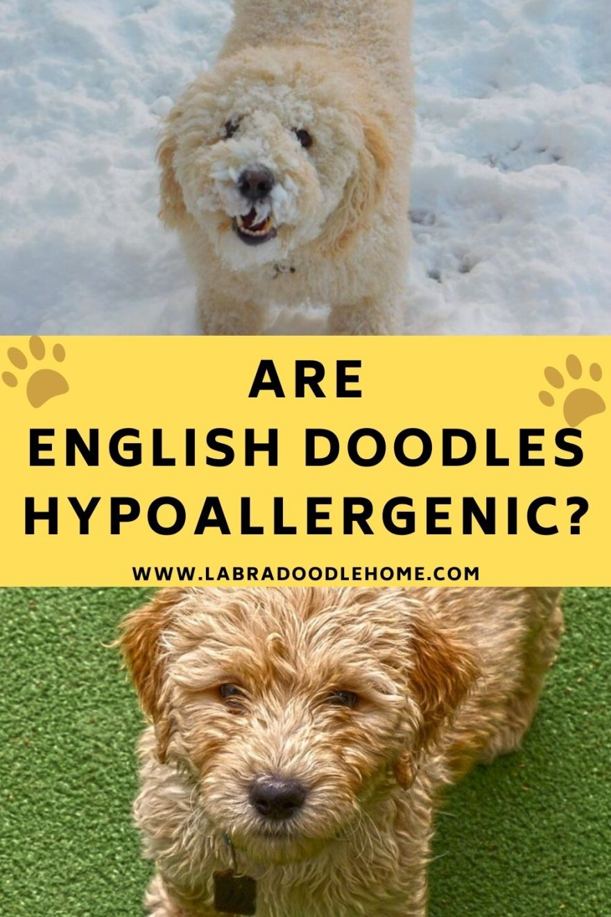 are english doodles hypoallergenic