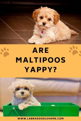 are maltipoos yappy