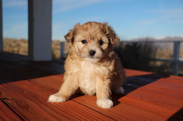 aussiedoodle puppy checklist How Long Can an Aussiedoodle Puppy Be Left Alone?