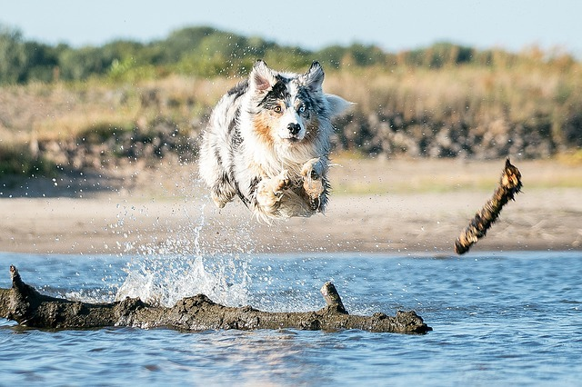 are aussiedoodles hyperactive Are Aussiedoodles excessive Barkers are aussiedoodles aggressive