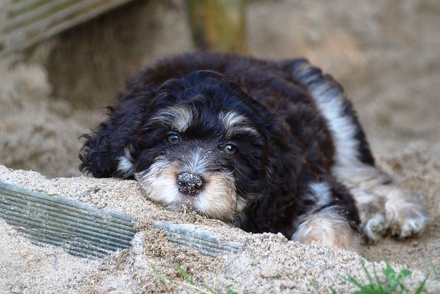 aussiedoodle puppy checklist Are Aussiedoodles Calm Dogs when do aussiedoodles stop growing Can Aussiedoodles Be Left Alone