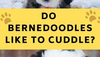 do bernedoodles like to cuddle