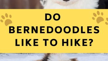 do bernedoodles like to hike
