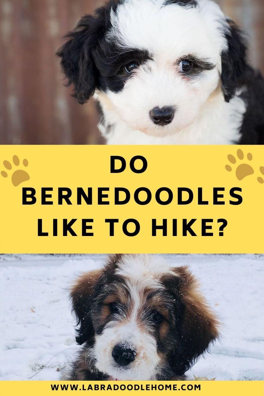 do bernedoodles like to hike