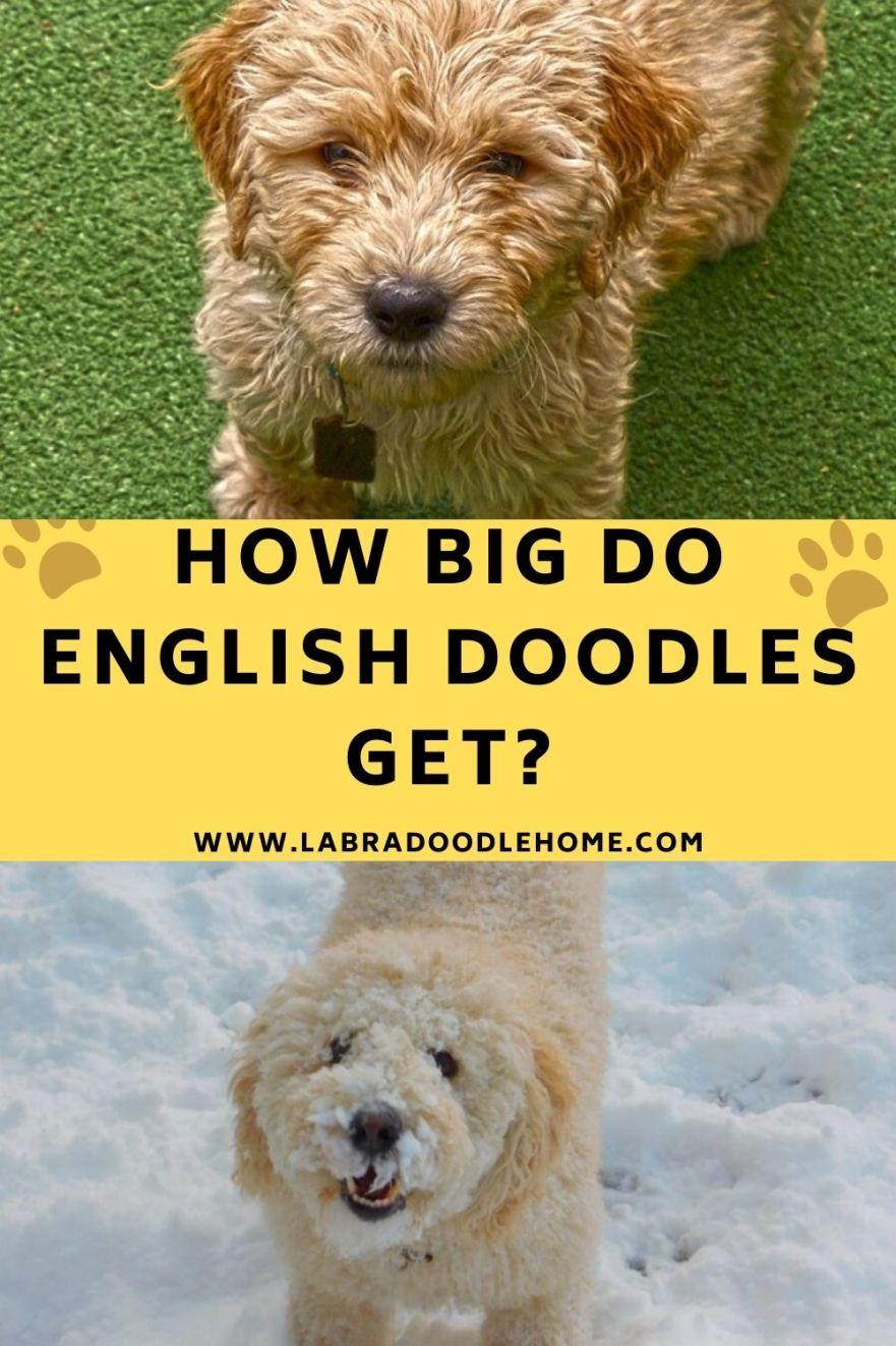 how big do english doodles get