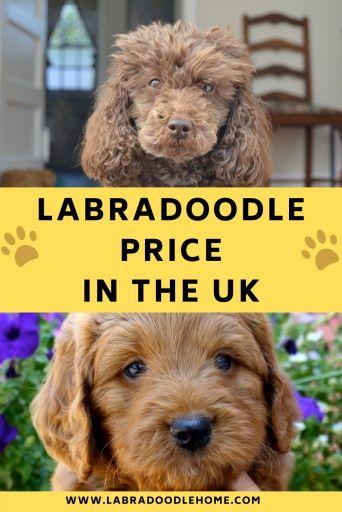 labradoodle price uk