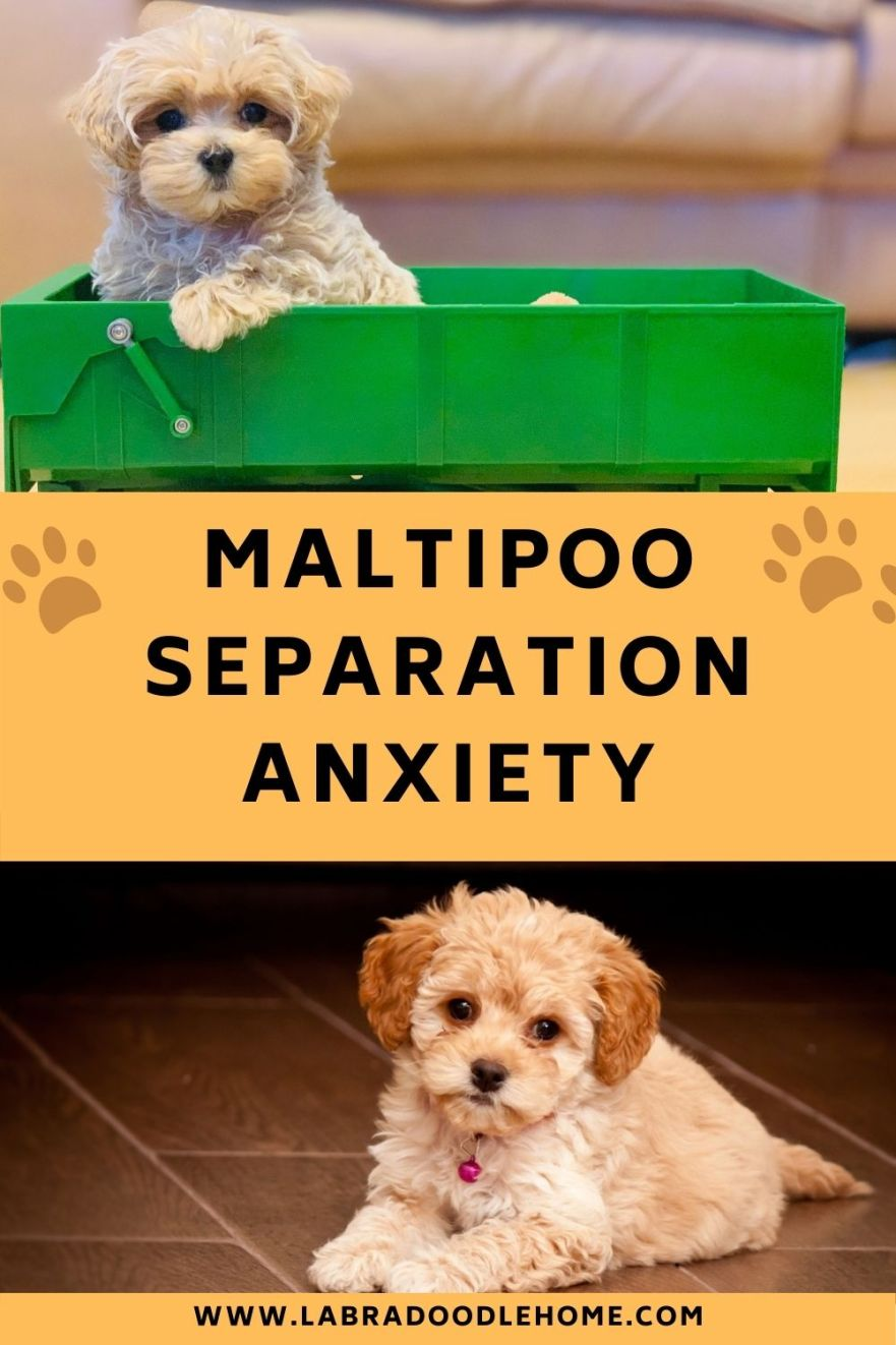 maltipoo separation anxiety